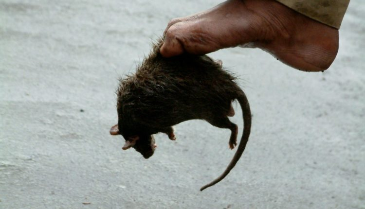 ratas gigantes, hantavirus