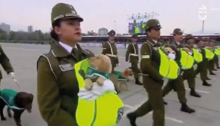 cachorros en desfile militar de chile