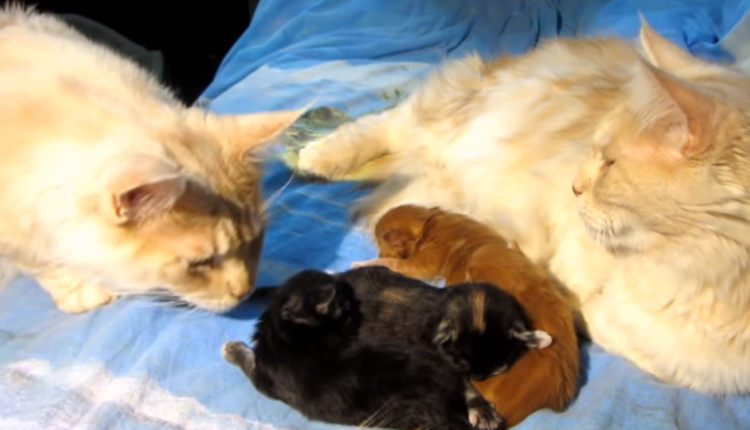 gato paternidad video