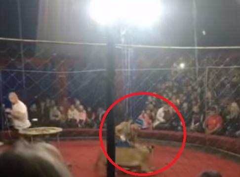 leona ataca a niña rusia