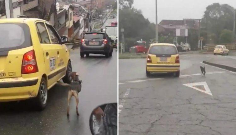 perro persigue taxi
