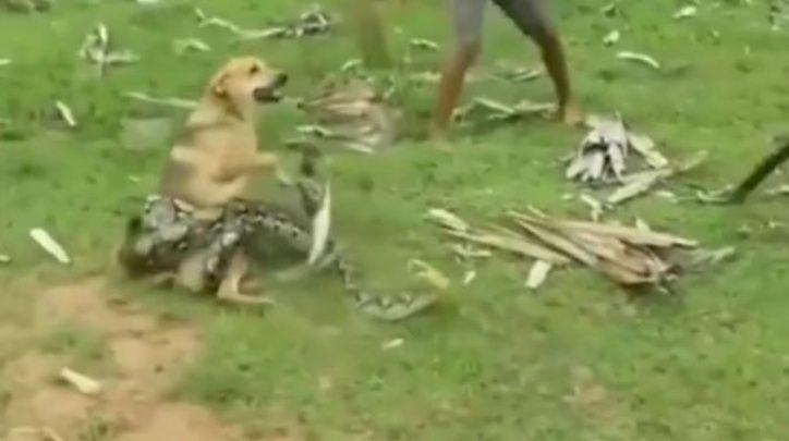 niños salvan perro atrapado por serpiente