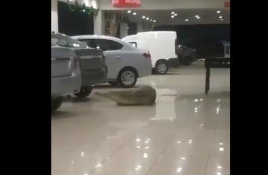 Provoca pánico la aparición de un cocodrilo en agencia automotriz