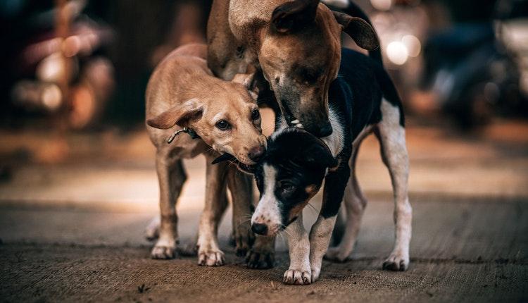 virus perros