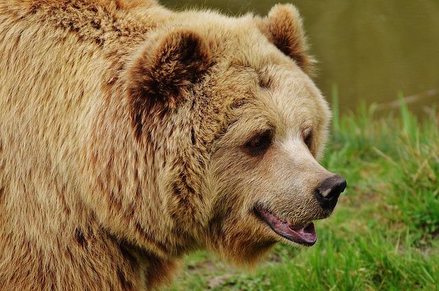 oso atacado