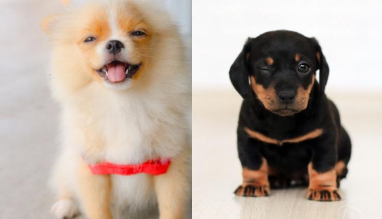 perros rasgos evolutivos humanos manipular