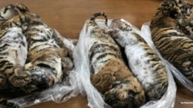 tigres congelados