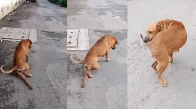 perro finge pata rota