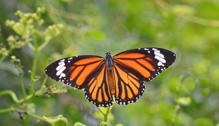 mariposa monarca extinción