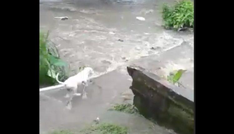 perro arrastrado río