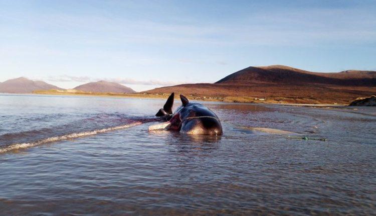 ballena muere basura estomago