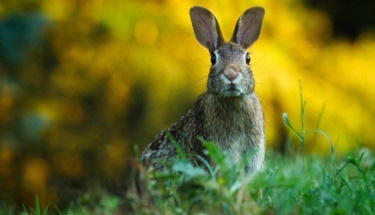 conejo peligro extinción