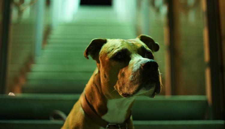 pitbull abandonado, señales que te da tu perro para entenderlo mejor