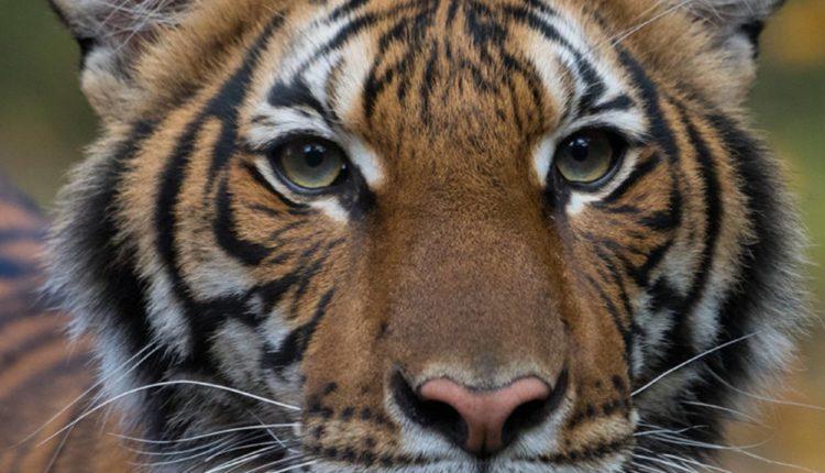 tigresa nadia